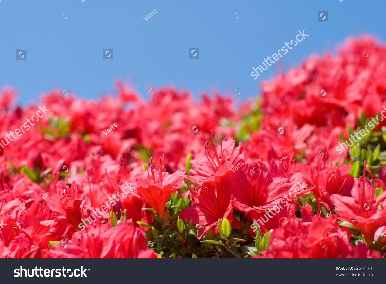 Bright Vermilion Color Azalea Flower Blue Stock Photo (Download Now ...