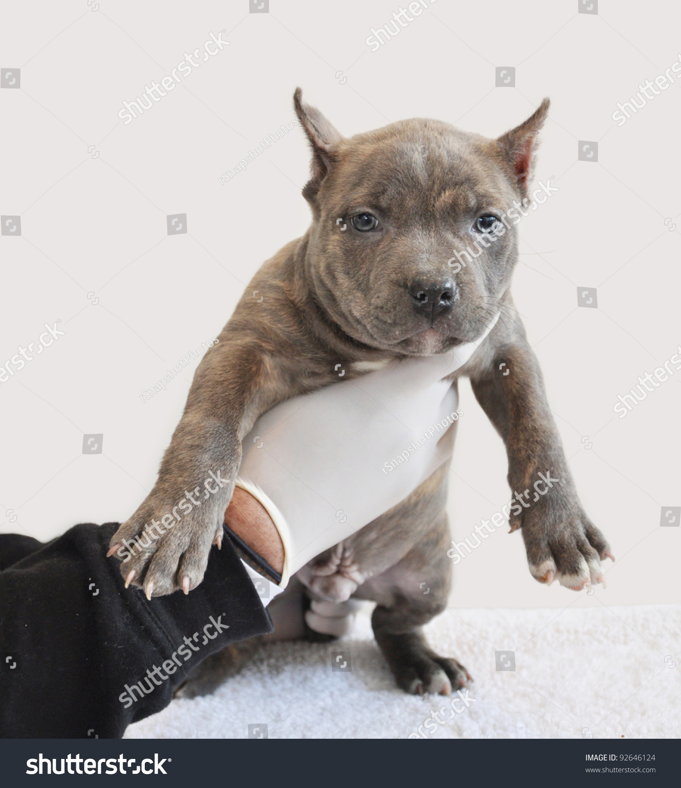 Tiger Striped Purebred Blue Nose Canine American Bully Puppy Six Weeks Old  preparing for Vaccination in