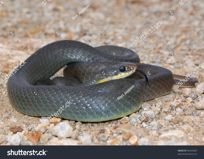yellow mamba snake - photo #2