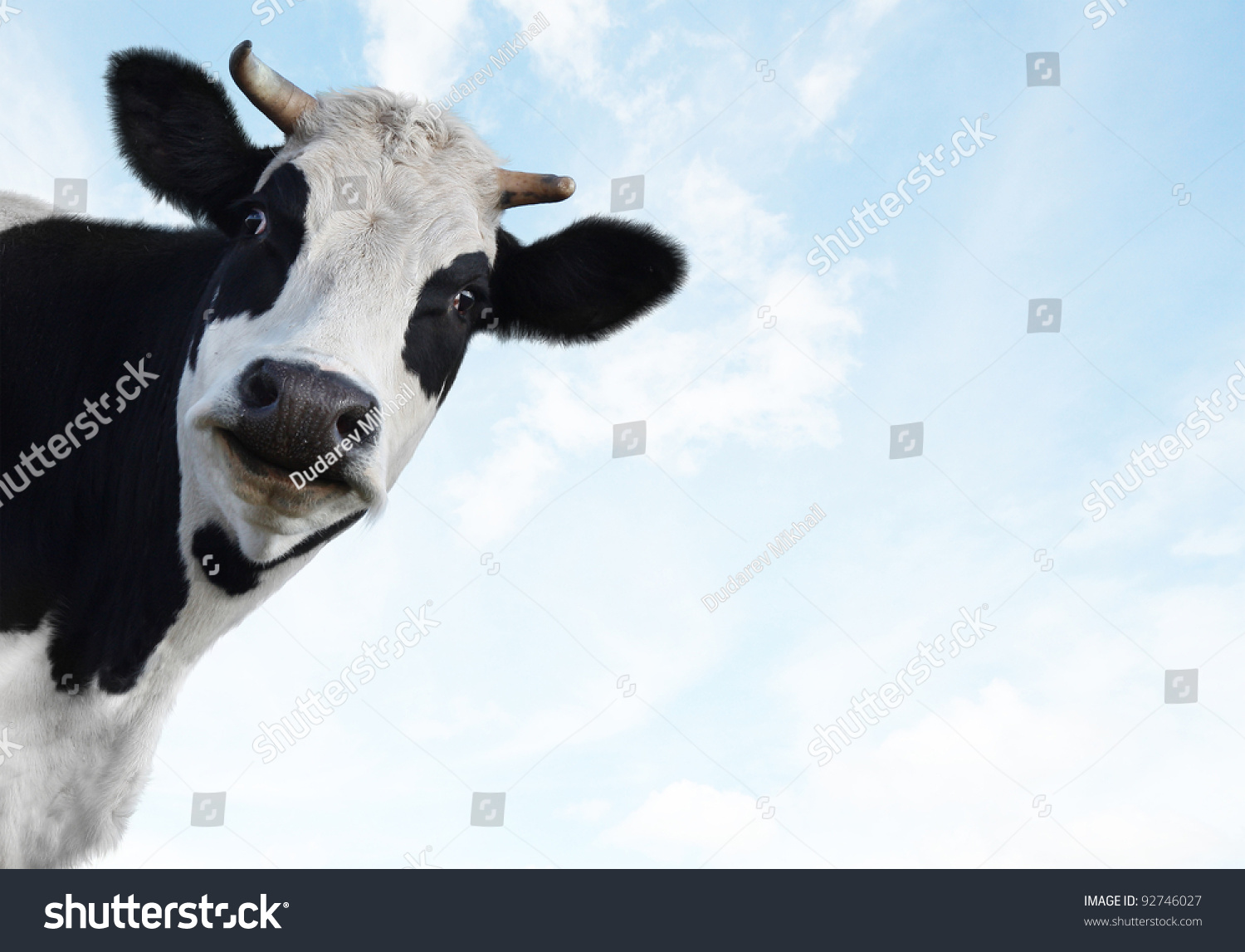 Funny cow smiling - photo#8