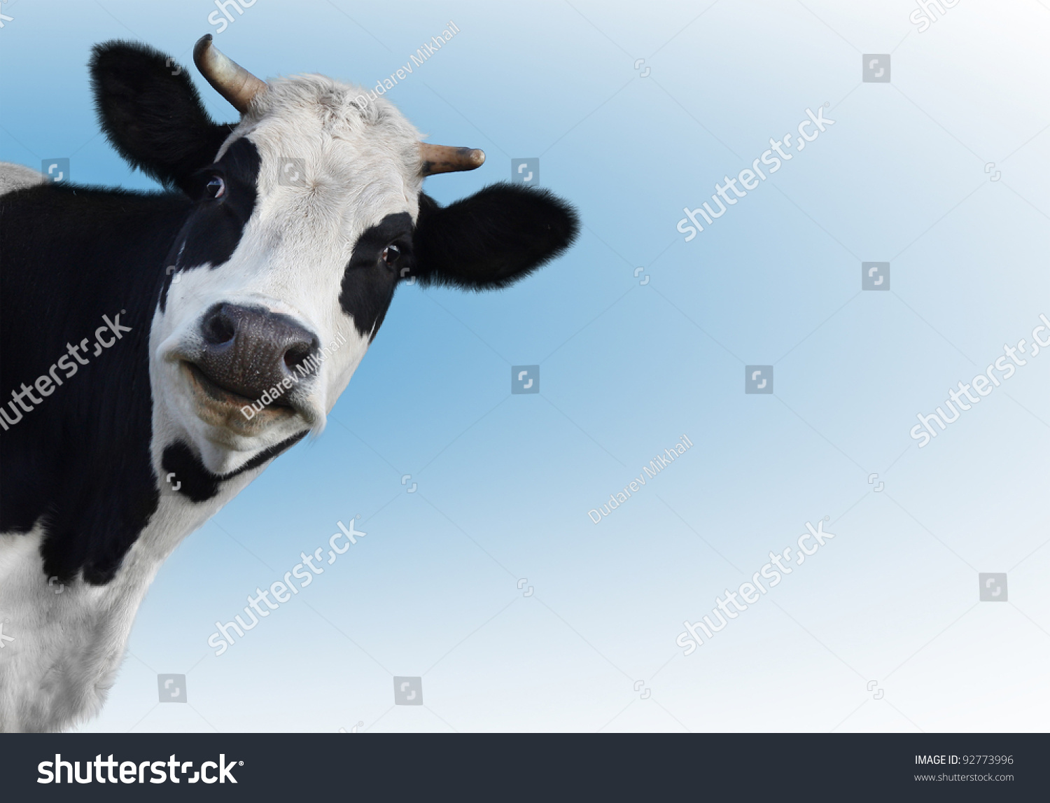 Funny cow smiling - photo#15