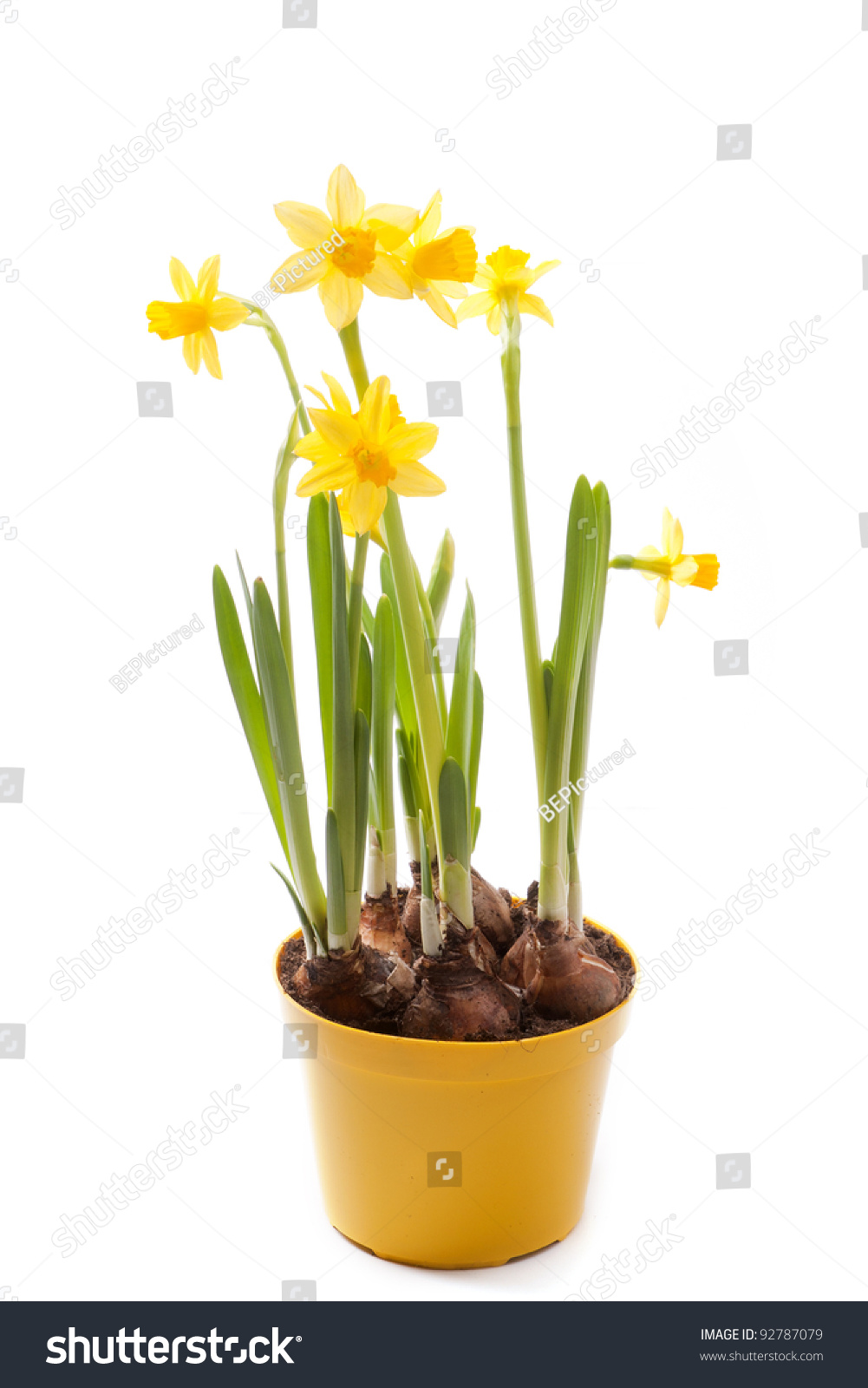 Daffodils Yellow Flower Pot Isolated On Stock Photo Edit Now