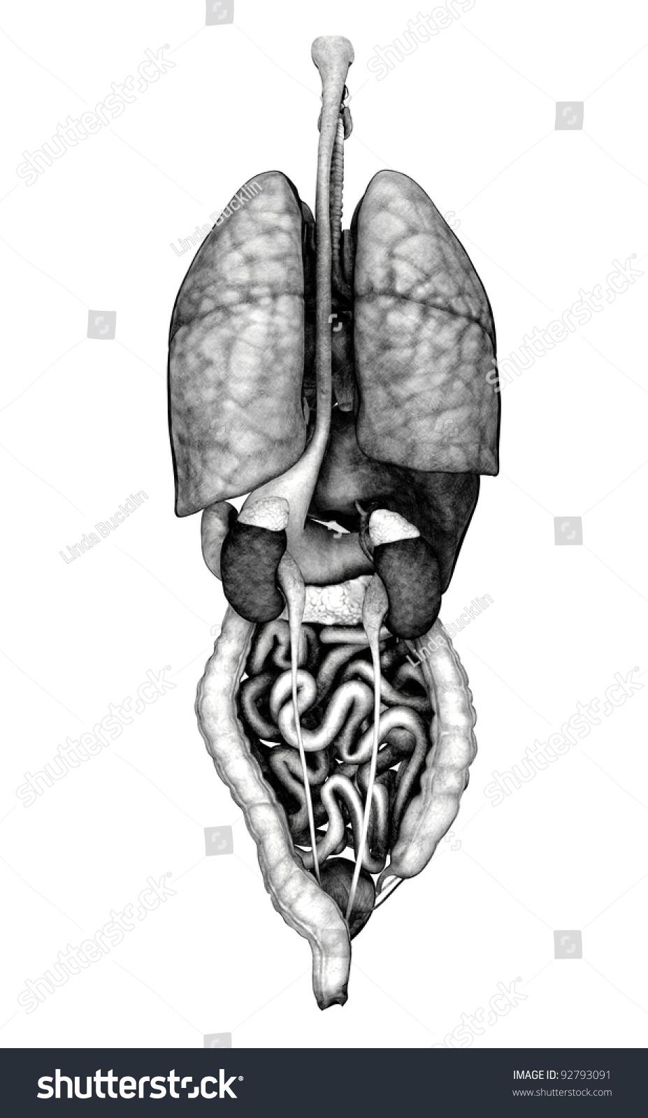 3 D Render Depicting Internal Organs Back Stock Illustration