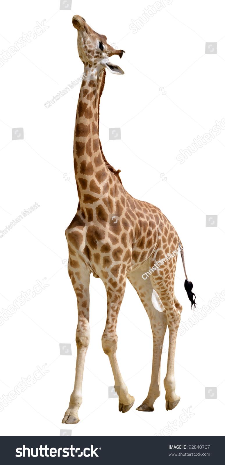 girafen