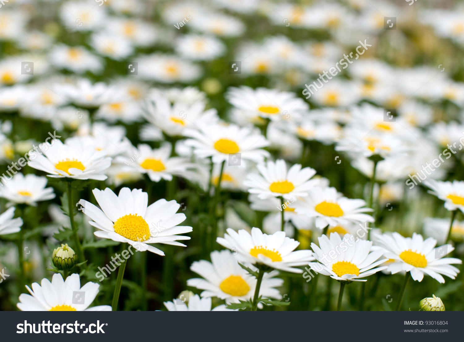 Swamp Chrysanthemum Flower Blooming All Over The Field Ez Canvas