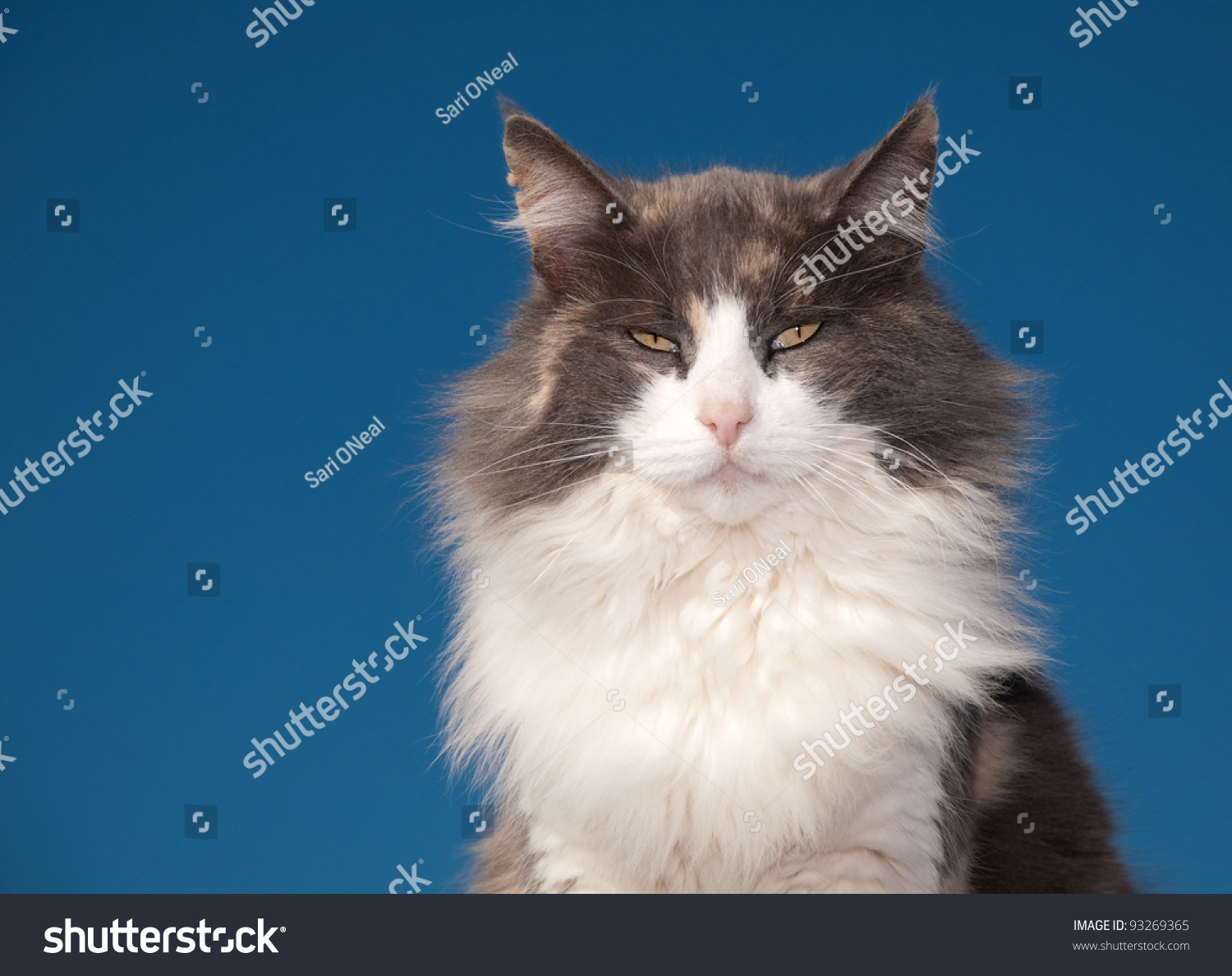 stock-photo-diluted-calico-cat-with-an-a