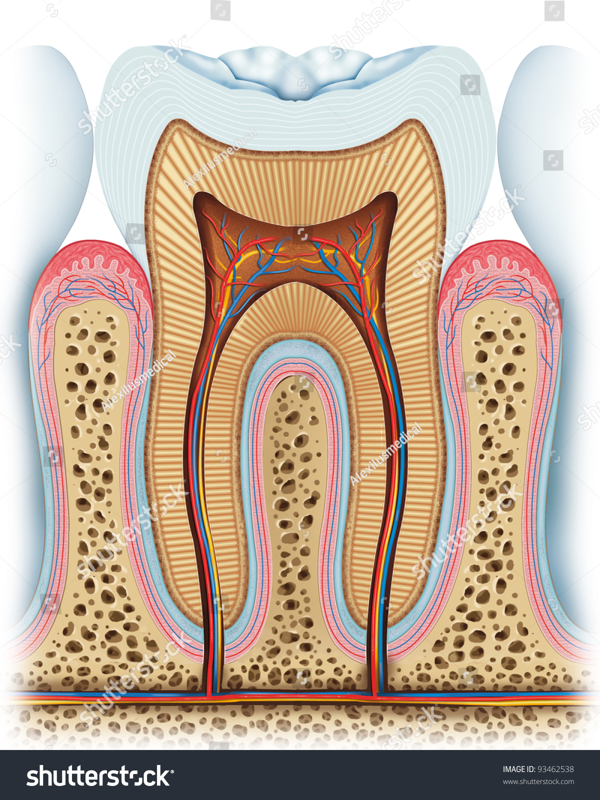 Anatomy Of The Tooth Stock Photo 93462538   Shutterstock