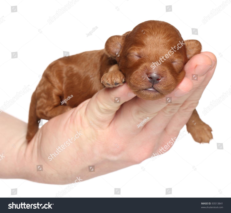 Half Golden Retriever Half Poodle Stock Photo Poodle Puppy One Week Sleep In