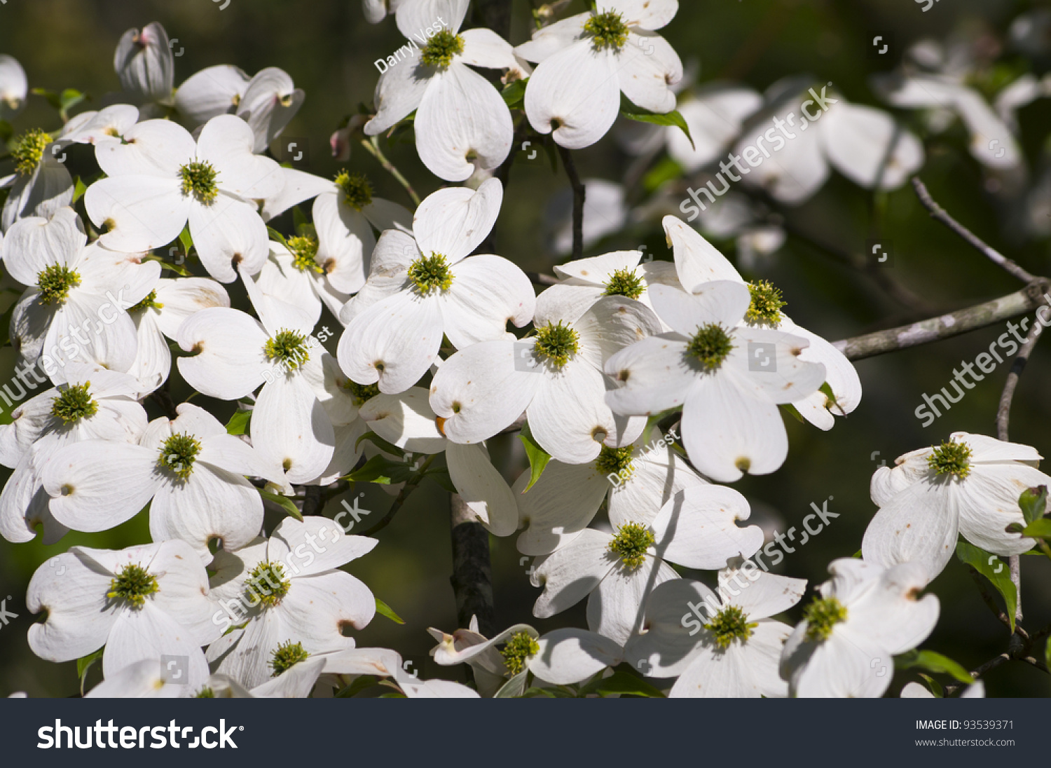 A White Dogwood Tree In Bloom Ez Canvas