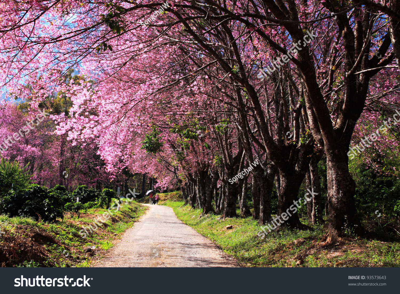 Cherry Blossom Garden Stock Photo 93573643 : Shutterstock