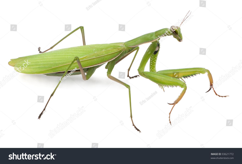 European mantis - Alchetron, The Free Social Encyclopedia