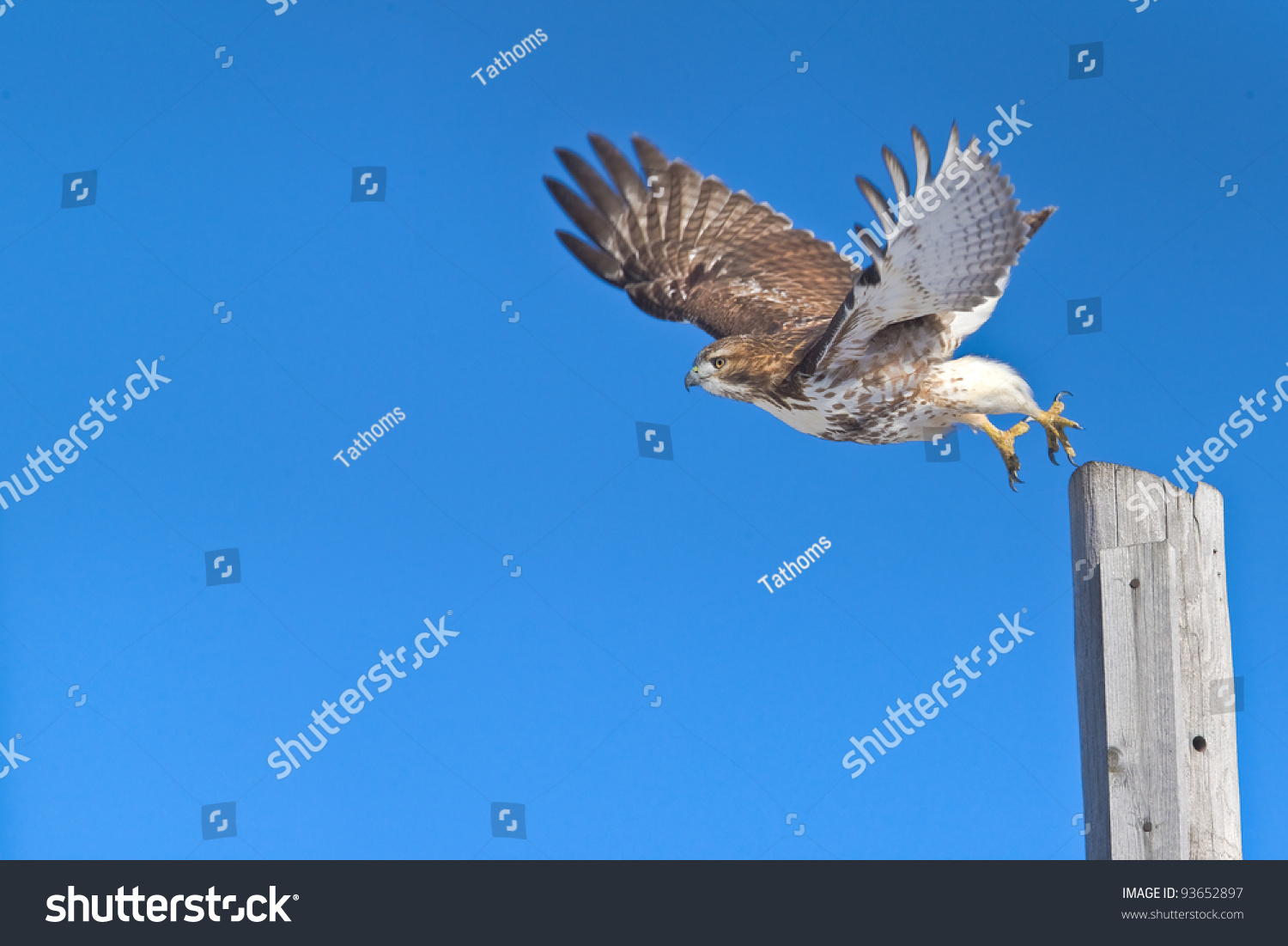 stock-photo-red-tailed-hawk-in-flight-ch