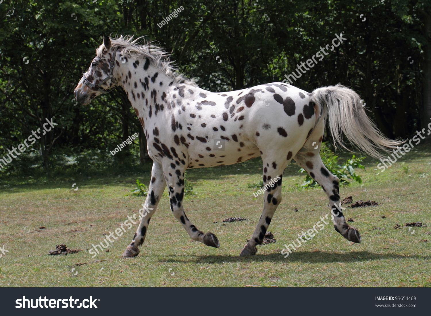 Appaloosa Horse White Horse Black Spots Stock Photo Edit Now 93654469