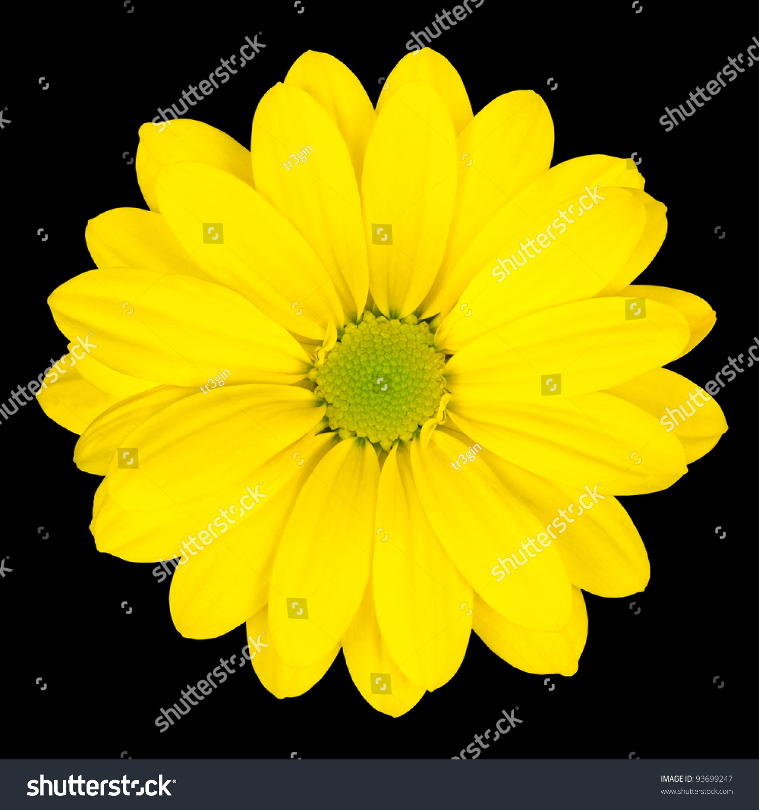 Yellow Daisy Flower Green Center Isolated Stock Photo Edit Now