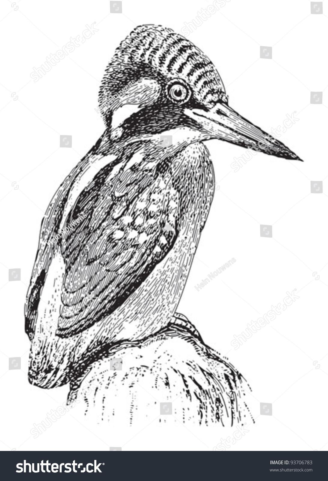 Line Drawing Kingfisher : Common kingfisher alcedo ispida vintage illustration stock