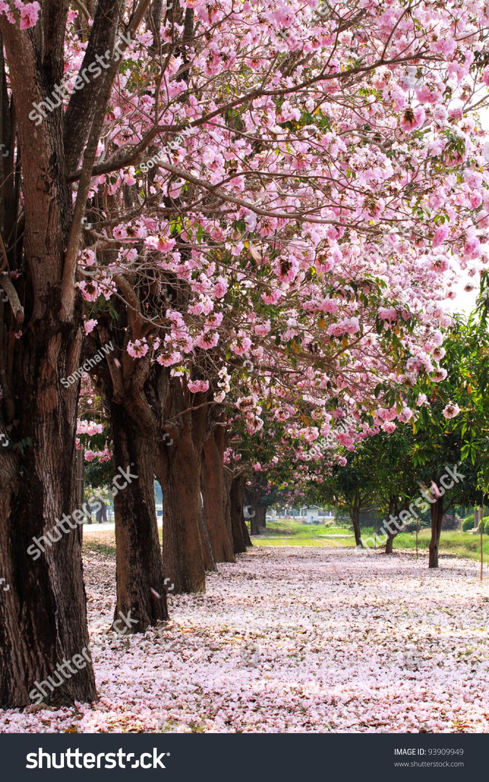 china landscape cherry trees - photo #20