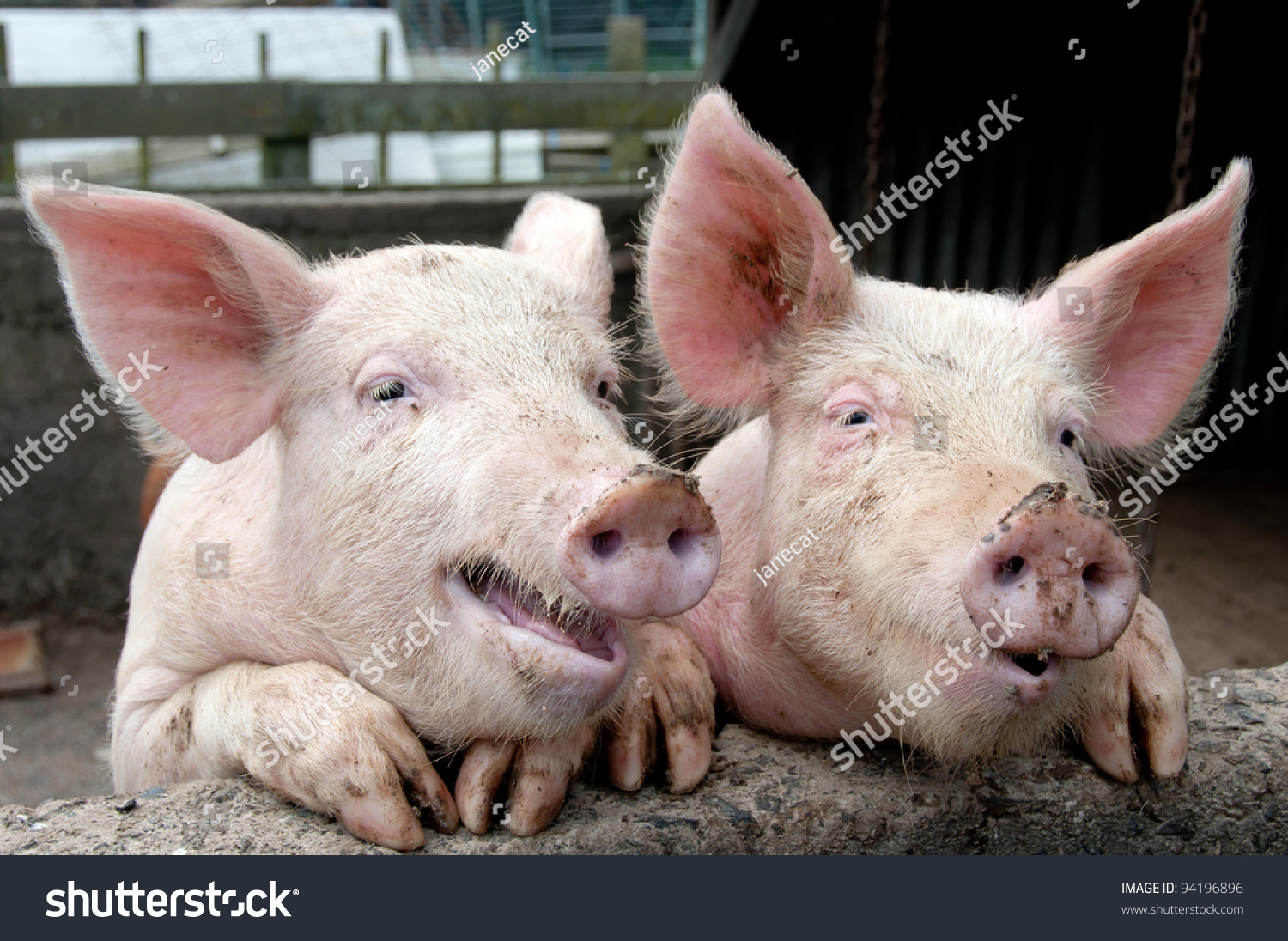 Funny pig faces