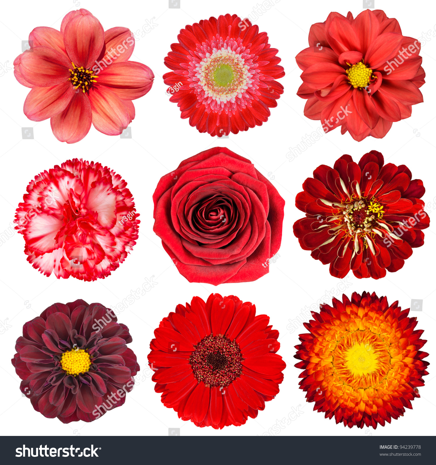 Stock images royalty free images vectors shutterstock similar images to selection of various red flowers isolated on white background set of nine dahlia gerber daisy carnation rose zinnia flowers izmirmasajfo Choice Image