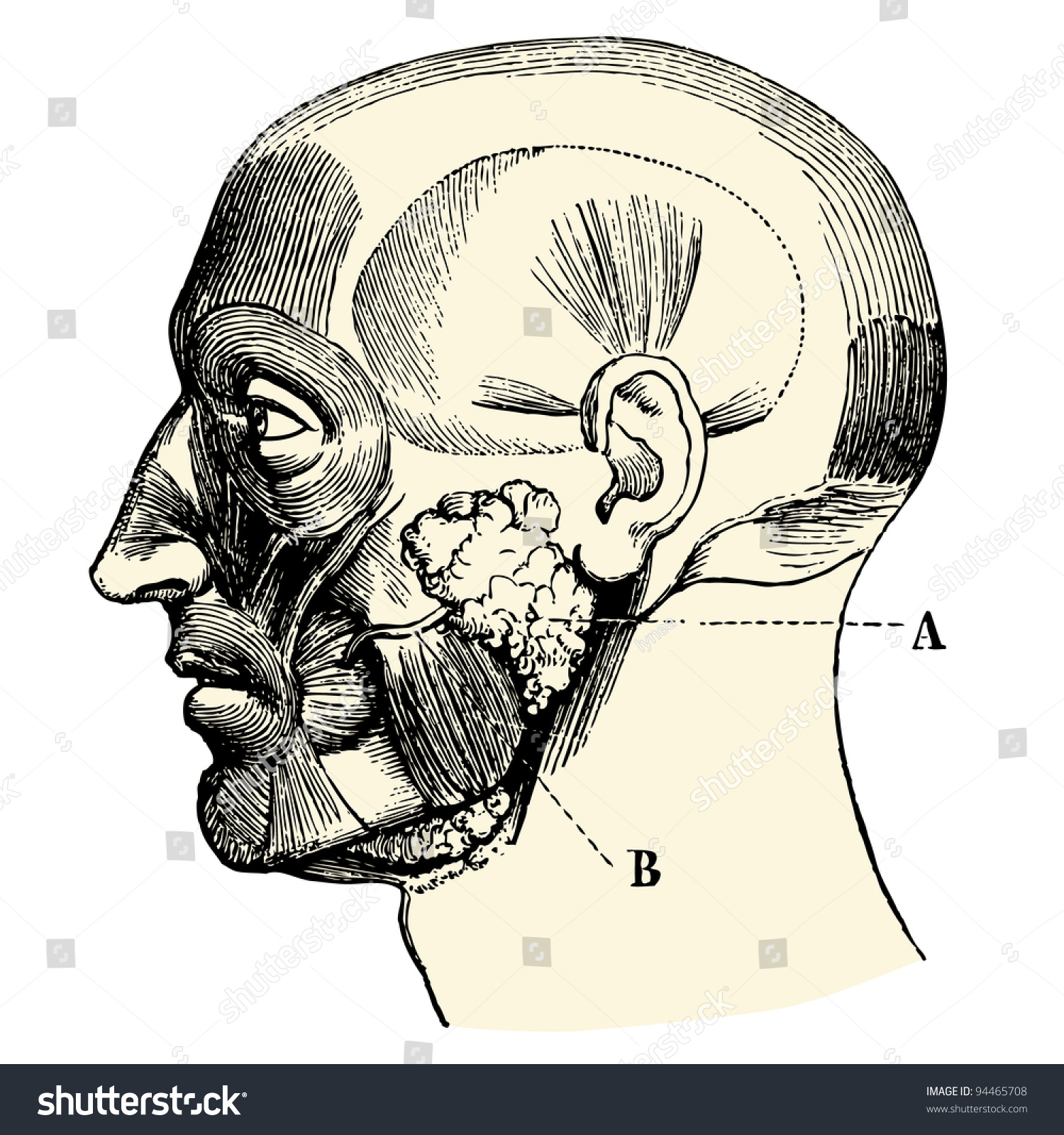 Human Anatomie Salivary Glands Vintage Engraved Stock Vector ...