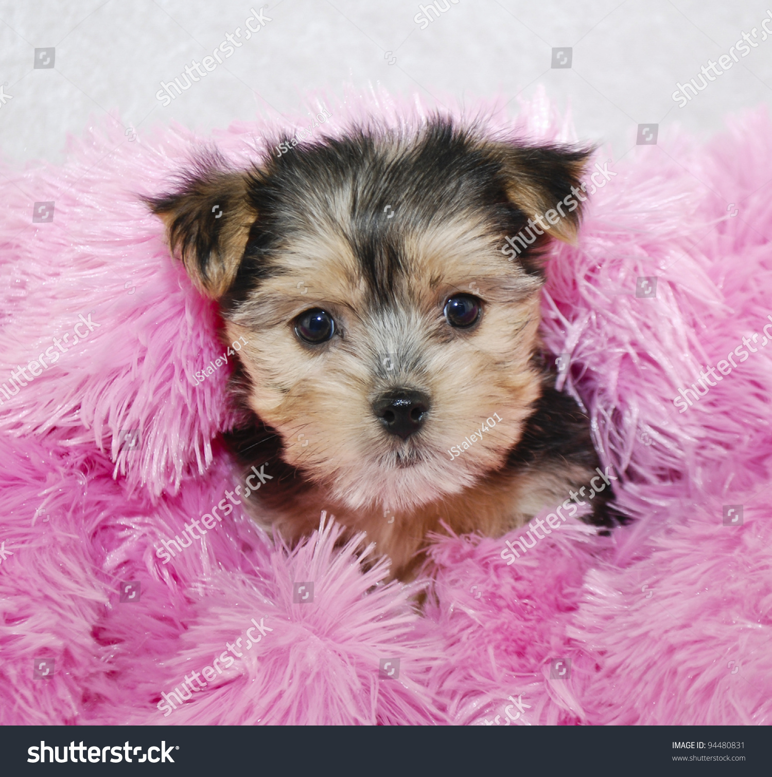 Cute Morkie Puppy Snuggled Pink Blanket Stock Photo