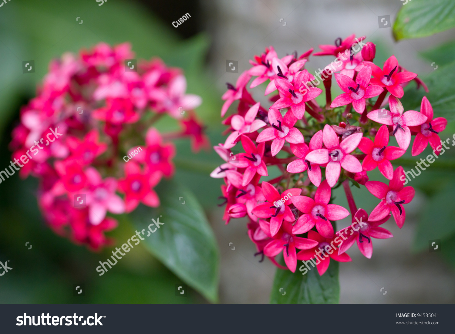 Pentas Pink Red Little Star Shaped Stock Photo Image Royalty Free