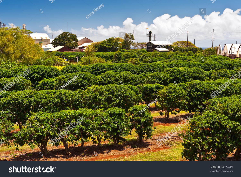 Coffee Plantation Maui Hawaii Stock Photo 94622419 ...
