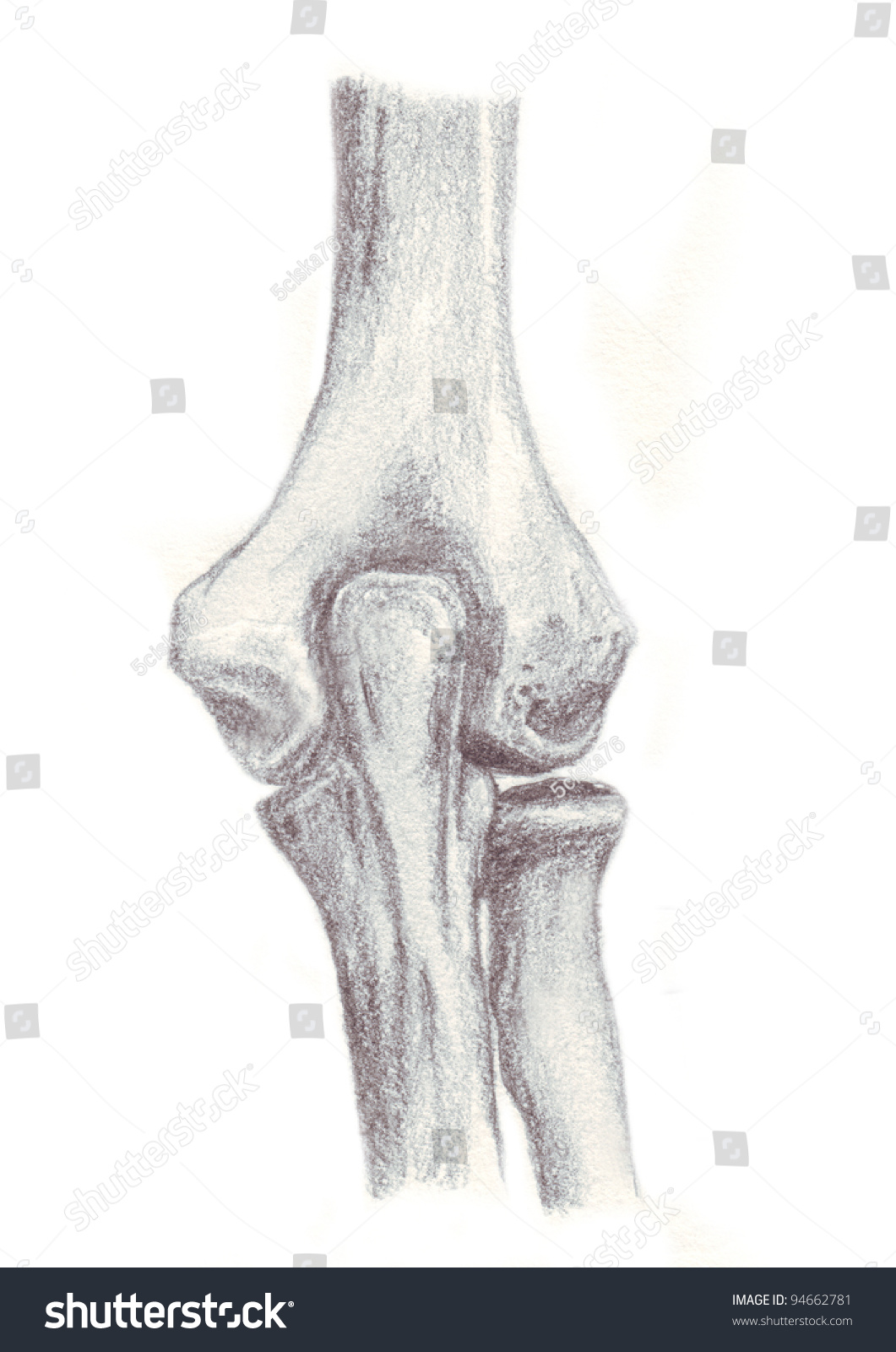 Human Anatomy Articulation Elbow Stock Illustration 94662781 ...