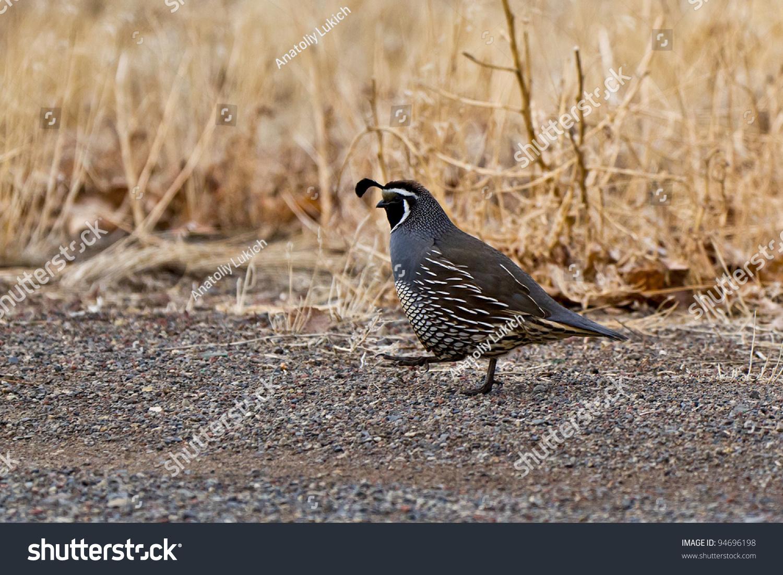 California Quail Callipepla Californica State Bird Animals Wildlife Stock Image 94696198