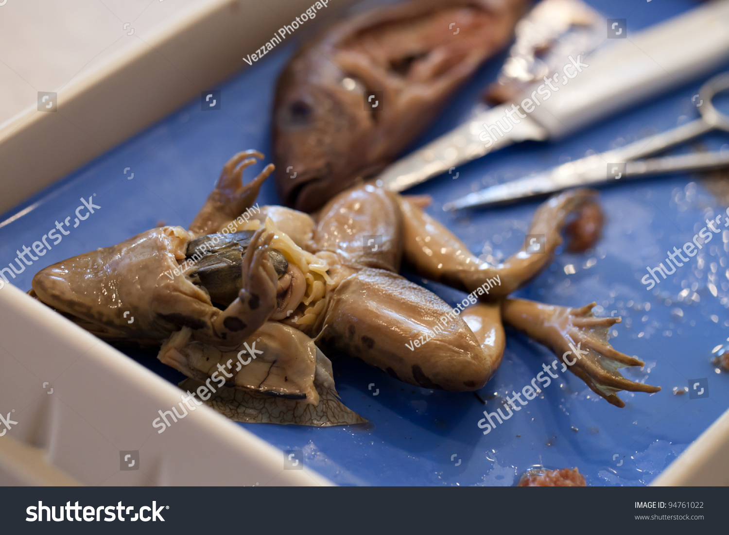 Closeup Frog Fish Comparative Anatomy Dissection Stock Photo ...
