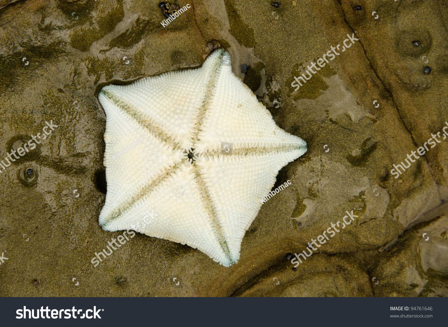The Underside Of A New Zealand Cushion Sea Star Showing ...