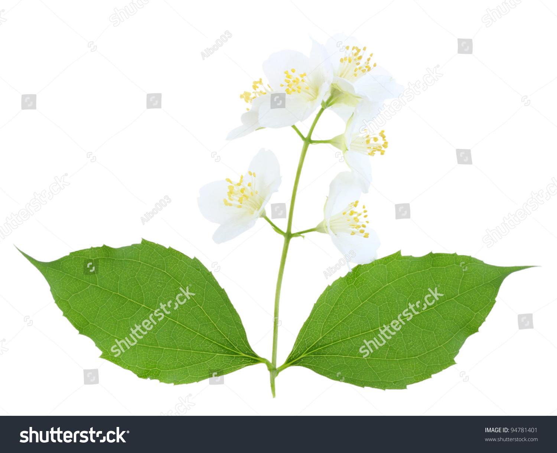 Single Branch Jasmine Green Leaf White Stock Photo Royalty Free