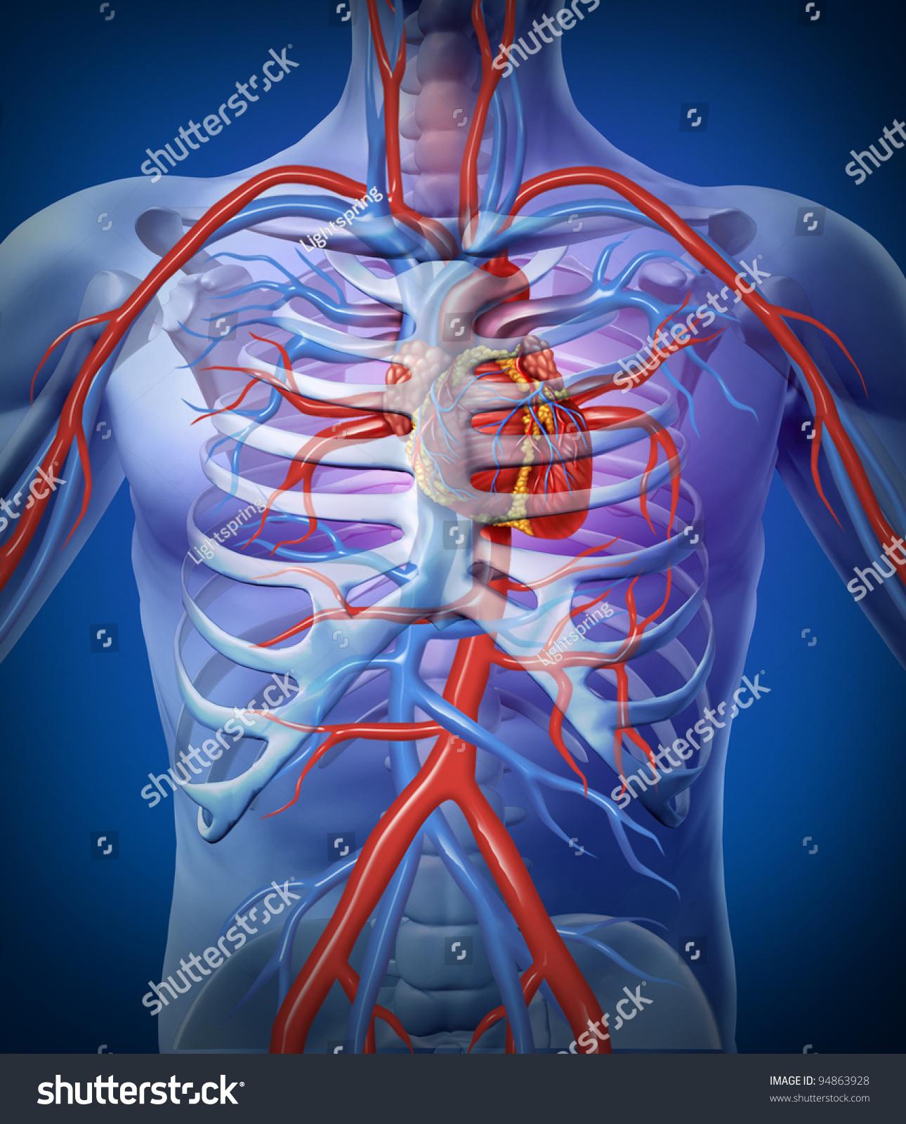 Human Heart Circulation Skeleton Cardiovascular System Stock