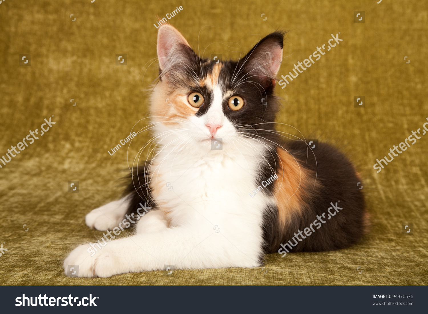 Calico Norwegian Forest Cat Lying On Green Background ...