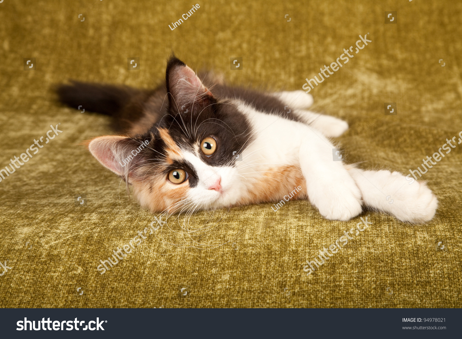 Calico Norwegian Forest Cat Lying On Stock Photo 94978021 ...