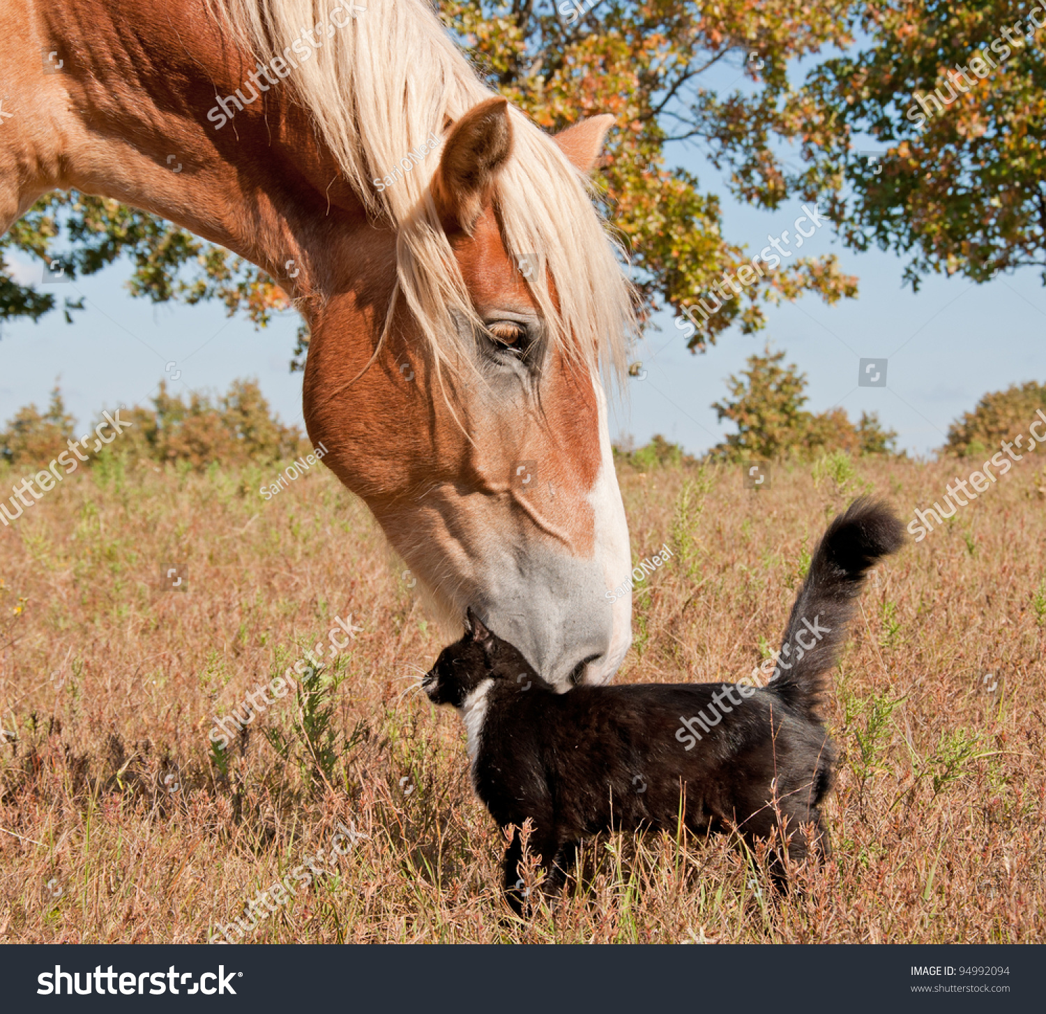 stock-photo-tuxedo-cat-and-a-big-horse-b