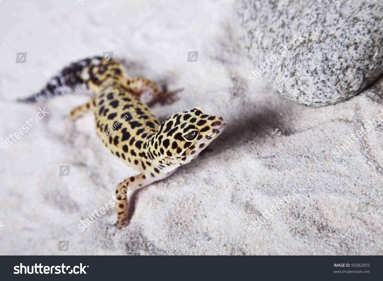 leopard gecko lizard on sand stock photo 95082859 shutterstock