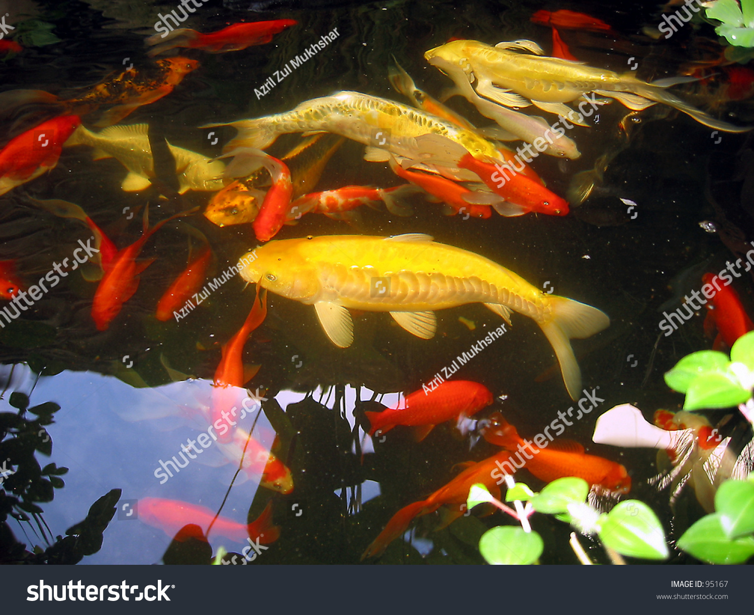 Tropical koi fish stock photo 95167 shutterstock for Exotic koi fish