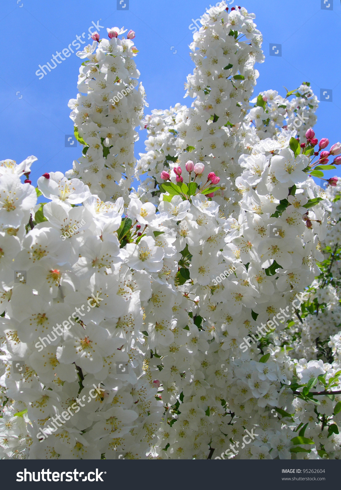 Pure White Flowering Trees Spring Blossoms Stock Photo Royalty Free