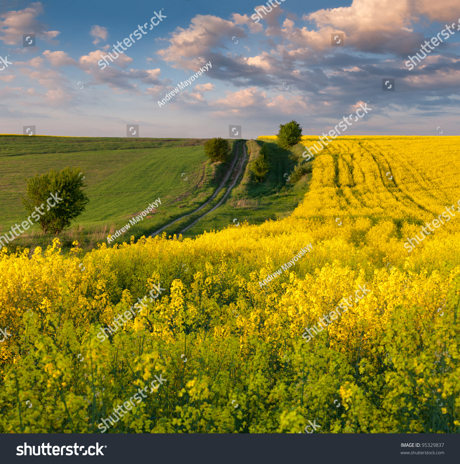 Summer Landscape With A Field Of Yellow Flowers Sunset Ez Canvas