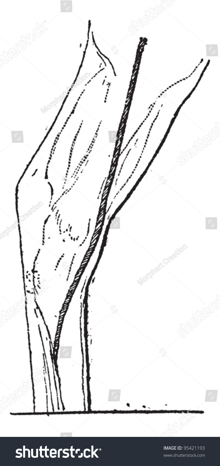 Old Engraved Illustration Great Saphenous Vein Stock Vector Royalty
