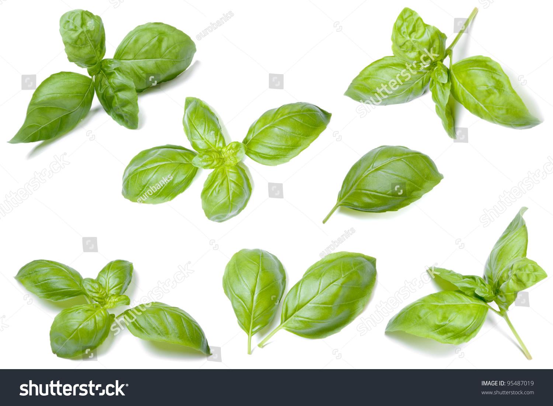 how to keep basil leaves fresh