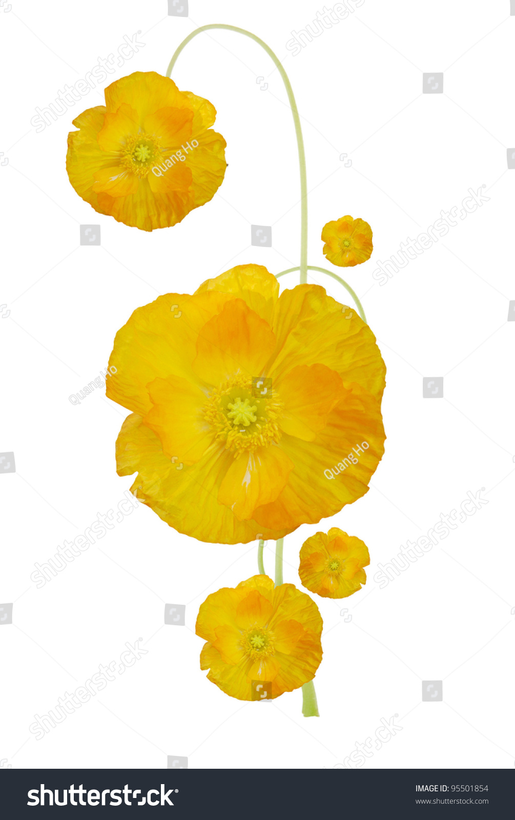 Golden Poppy Flower Symbolic Stock Photo 95501854 Shutterstock