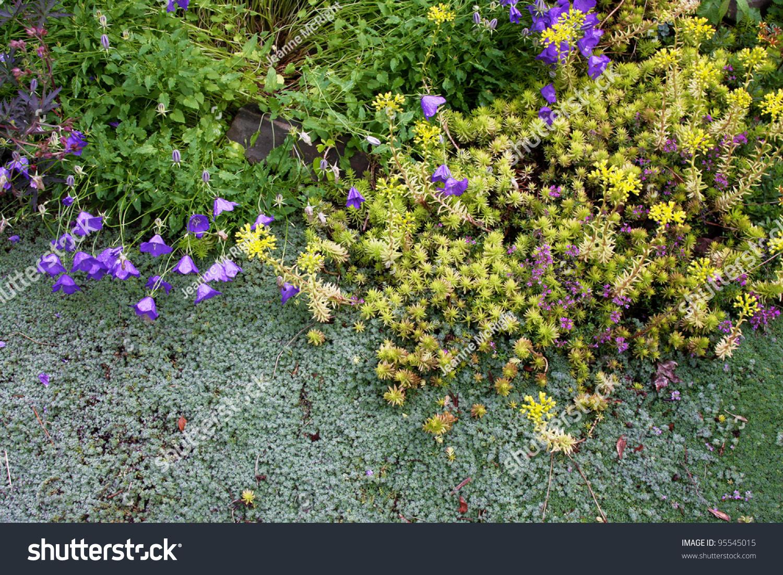 Droughttolerant Woolly Silver Thyme Golden Sedum Stock Photo Edit