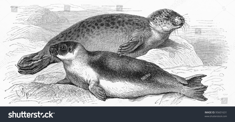 vintage drawing harbor seal harp seal stock photo edit now