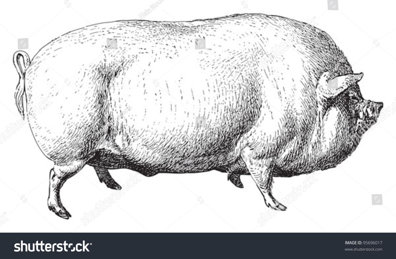 large white pig english large white stock vector royalty free