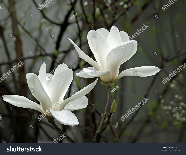 Beautiful white magnolia flower fresh odor stock photo 95701858 a beautiful white magnolia flower with fresh odor mightylinksfo Images