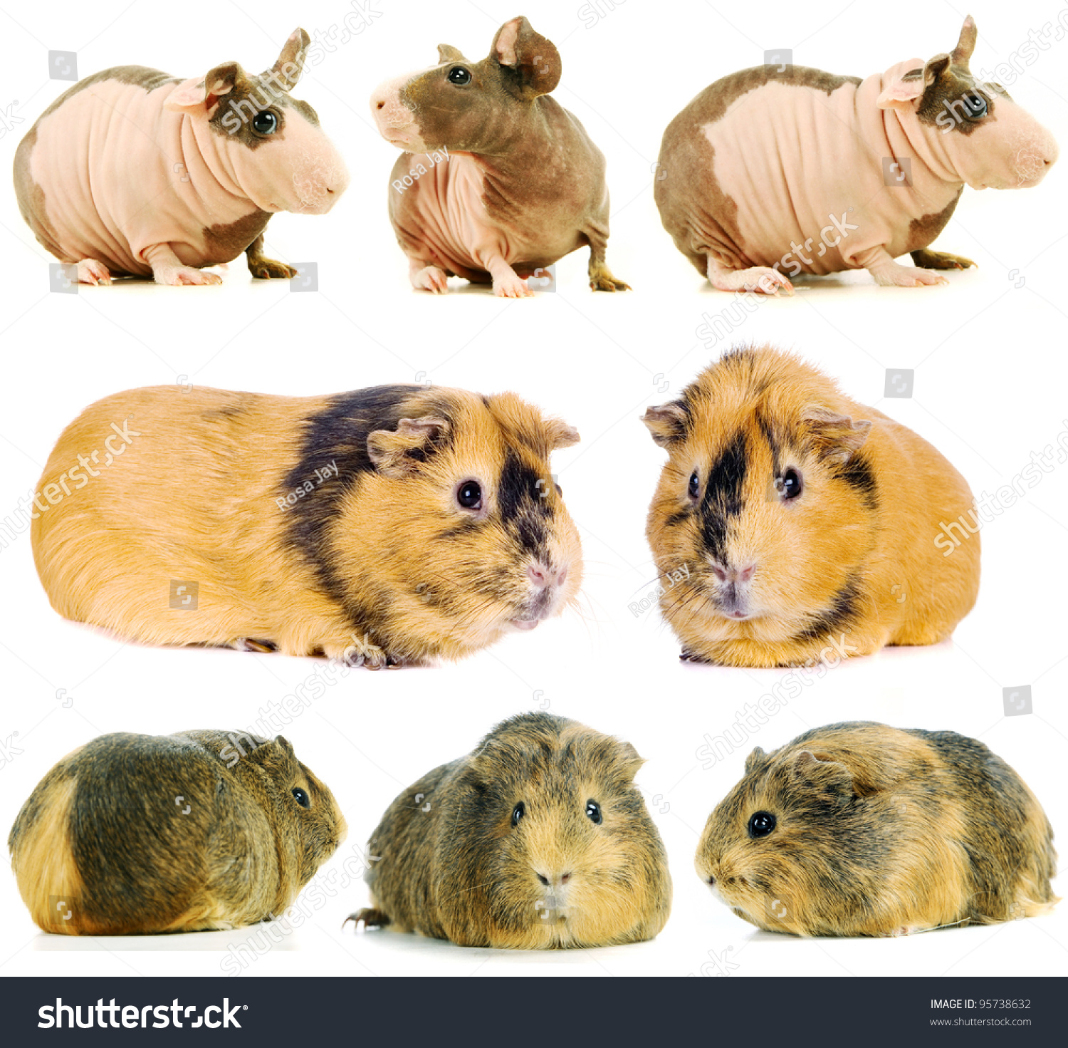 Group different breeds guinea pigs stock photo 95738632 shutterstock group of different breeds of guinea pigs sciox Gallery
