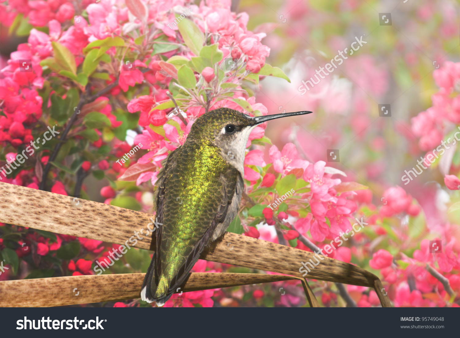 stock-photo-hummingbird-enjoying-apple-b