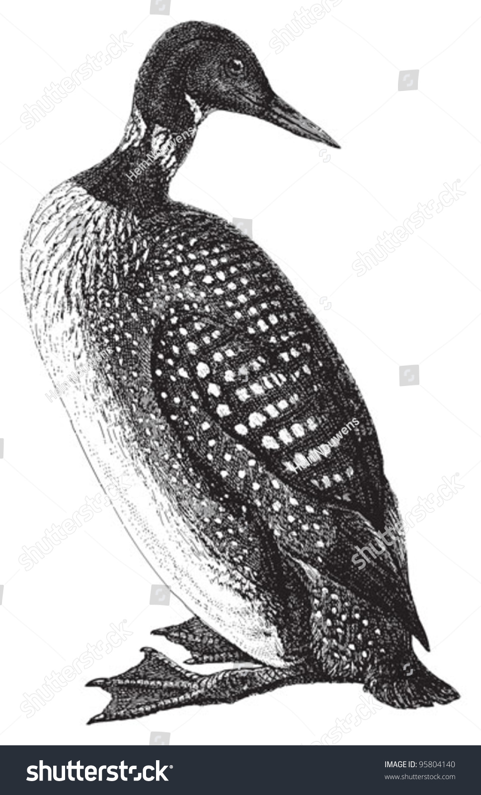 Common loon standing - photo#4