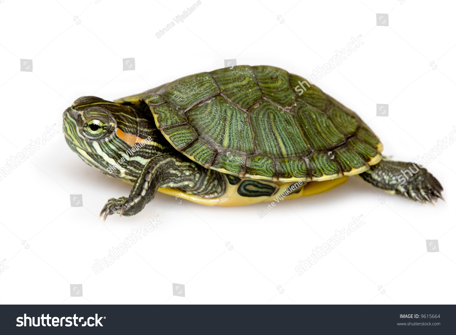 Redeared slider trachemys scripta elegans stock photo for Trachemys scripta